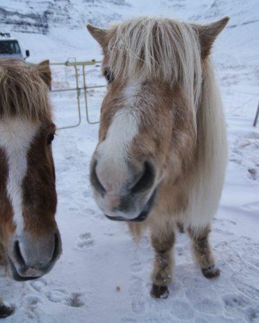 Snæfellsnes Peninsula Moonwalker Tours Iceland Icelandic horses