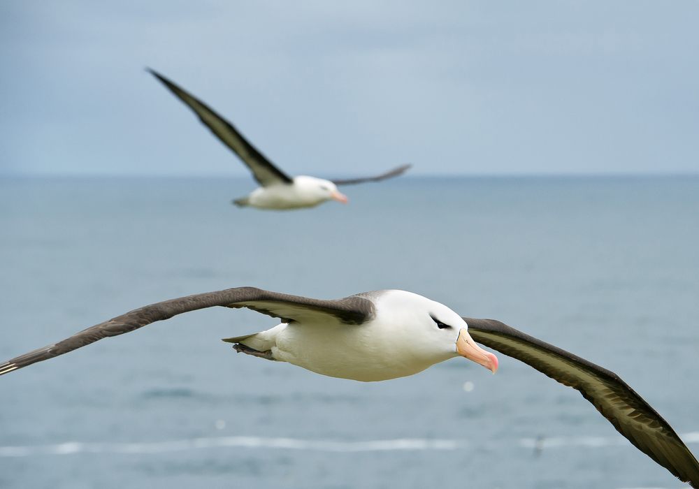 Black browed albatross flying over the sea, with onother albatross in background, South Georgia Island, Antarctica