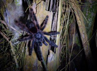 Peru amazon spider