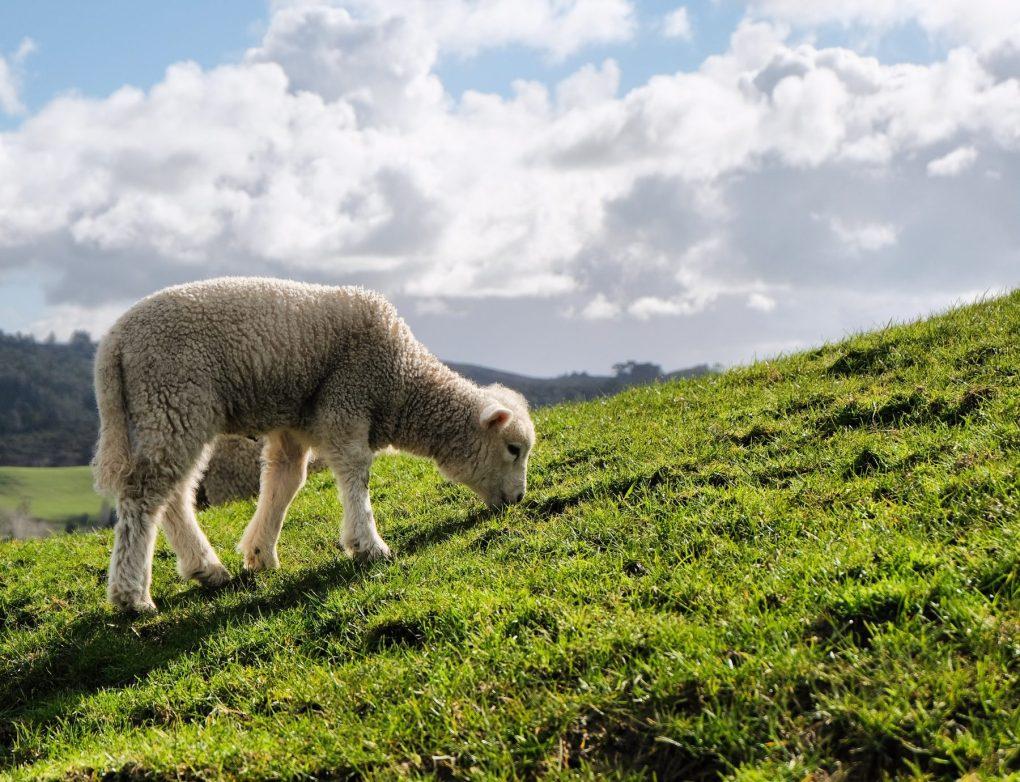 young lamb New Zealand
