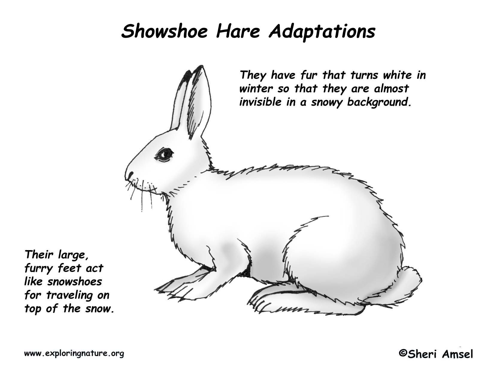 Adaptations Of The Snowshoe Hare