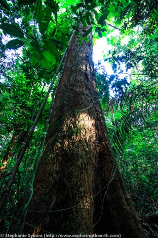 Amazon Rainforest old growth tree deforestation Canopy Brazil forest jungle adventure travel jungle South America
