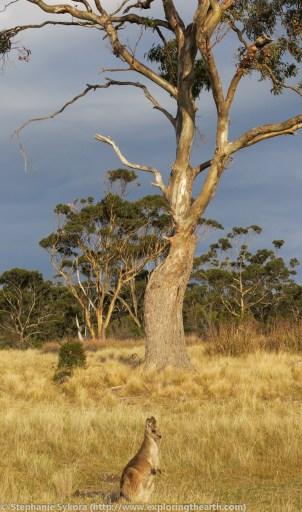 Maria Island, Maria, Tasmania, Australia, geology, travel, blog, adventure, hiking, exploring, earth, science, rocks, nature, geomorphology, Tassie, wildlife, wild, animal, kangaroo