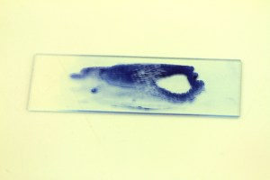 A slide with a smear of bacteria stained with the stain