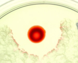 Serratia marcescens and Bacillus mycoides. An antagonistic red, paint
