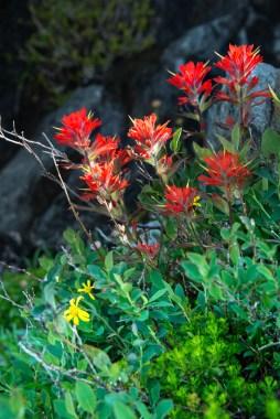 Indian Pain Brush, Bonanza Range, Whiltilla, Whiltilla Mountain, hiking on Vancouver Island