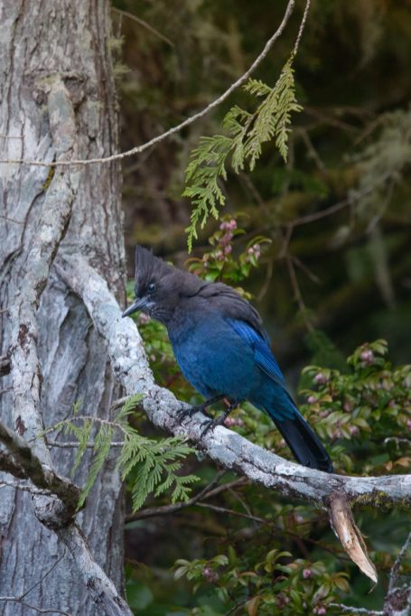 Stellar's Jay on Meares Island