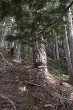 odd chainsaw cuts on large alpine fir --Hiking Mount Sarai in the Genesis Range on Vancouver Island