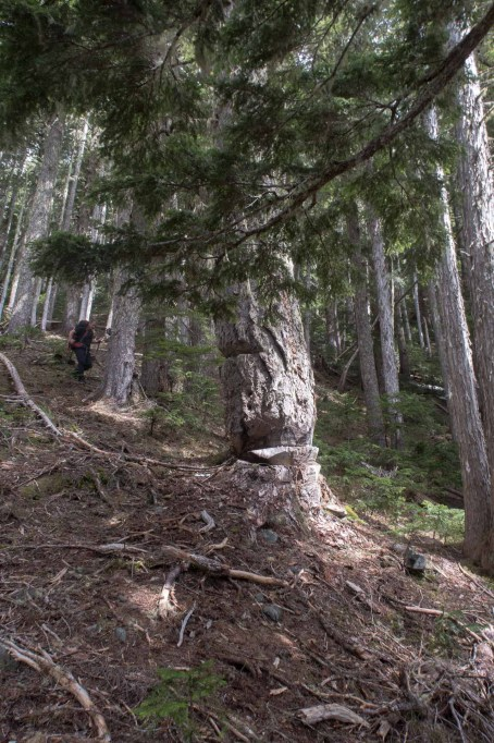 odd chainsaw cuts on large alpine fir --Hiking Mount Sarai in the Genesis Range on Vancouver Island