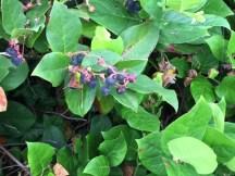 Local berries