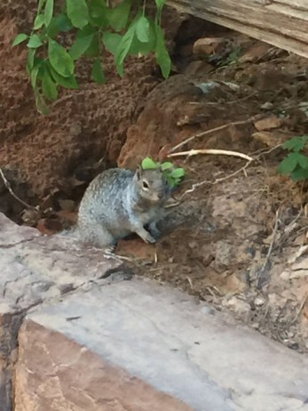 Gray Squirrel on the trail