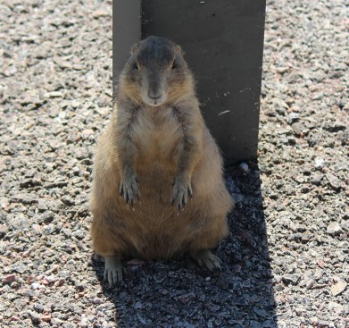 Prairie Dog by road sign