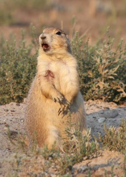 Prairie Dog communicating