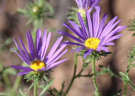 Tansy Aster
