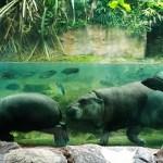 エキスポシティの泳ぐカバ「ミニカバ」誘致の裏舞台とは?