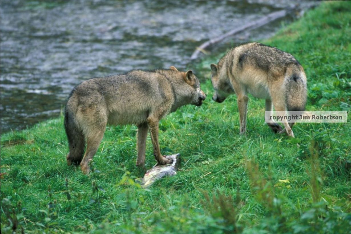 Cattle Kills Rare In Wolf Occupied Areas