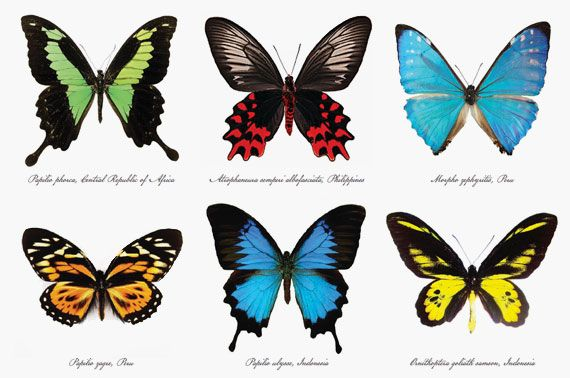 types of butterflie