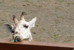 a giraffe eating a piece of lettuce from a railing