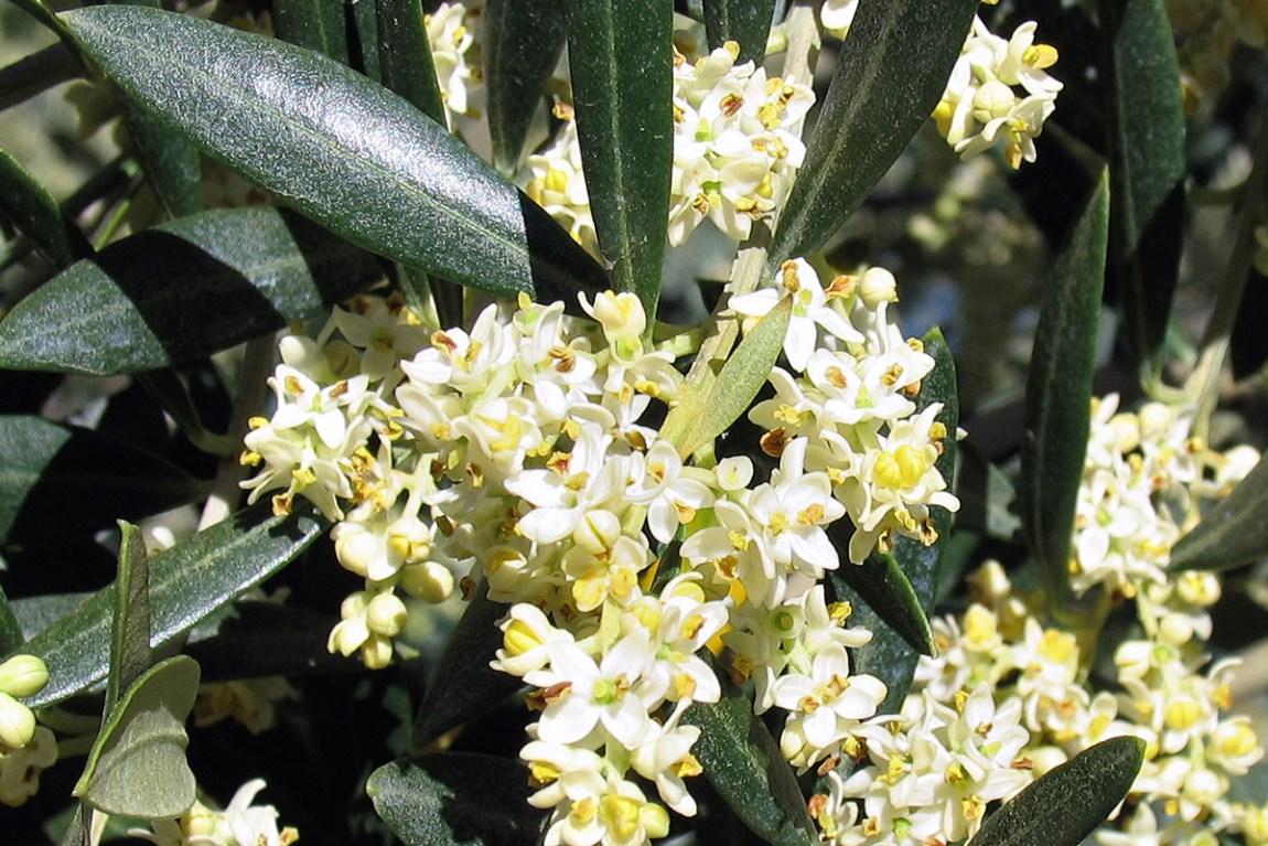 Il Cultive L Olivier l'olivier, un arbre qui sait transmettre - le blog de la