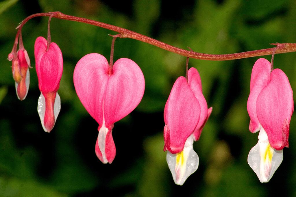 La fleur Cœur de Marie