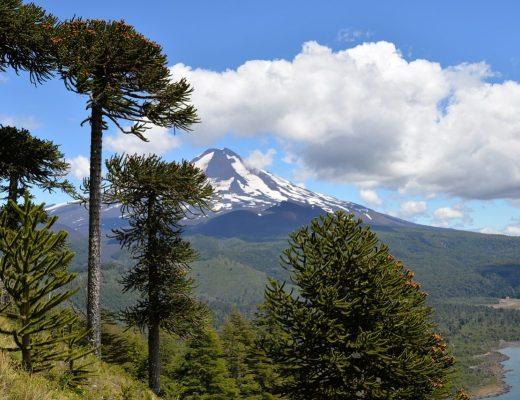 L'Araucaria du Chili constitue les forêts les plus anciennes de la planète !