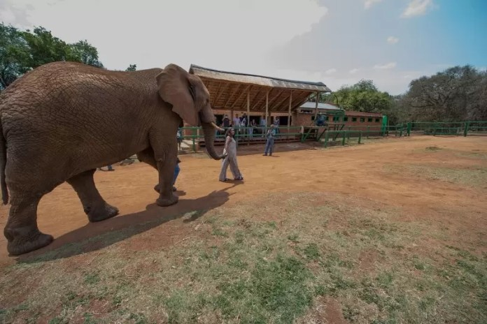 liz-osho-taking-a-walk-with-an-elephant-in-the-elephant-park-a-45-minutes-drive-from-sandton-800x533