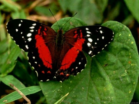 Red black and white butterfly on Exshoesme.com