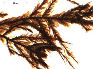 Microscoopbeeld van een stukje glad kringmos, een bossoort, uit de Oudenburgse waterput (foto Herman Stieperaere, Nationale Plantentuin).