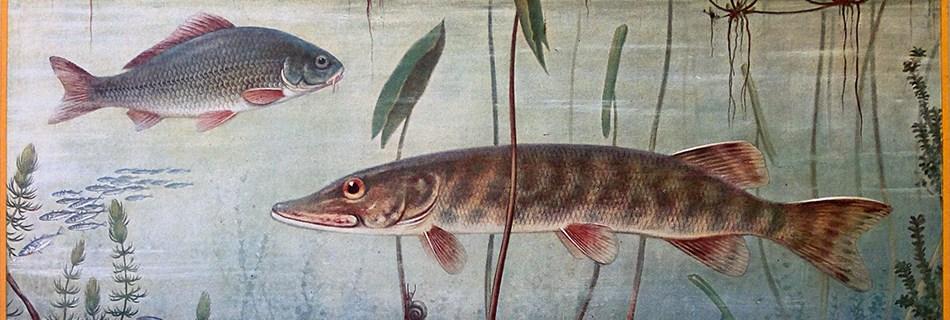 Een oude schoolplaat, 'Zoetwatervisschen' van A.M. Koekoek, uit het begin van de 20ste eeuw © Wikimedia Commons