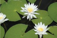 A Field Guide to Common Aquatic Plants of Pennsylvania