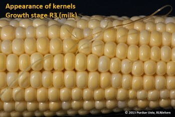 Appearance of kernels. Growth stage R3 (milk).