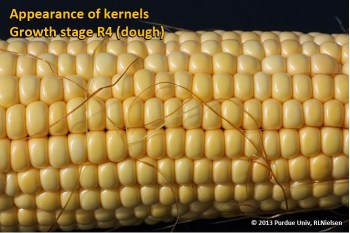 Appearance of kernels. Growth stage R4 (dough).