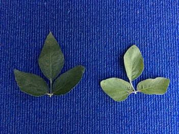 Figure 4. Taking proper leaf samples (most recent mature leaves are typically the 3rd to 4th trifoliate from the top of the plant) to help diagnose the N deficiency. LEFT – Healthy, soybean leaf. RIGHT – N-deficient soybean leaf due to poor nodulation and N fixation.