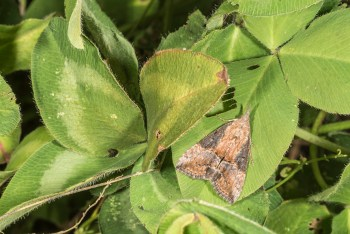 Green cloverworm moth in clover.