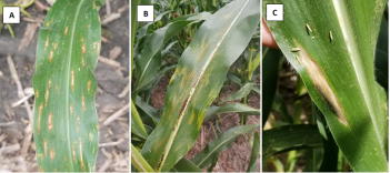 Figure 1. Foliar diseases in corn A. gray leaf spot, B. Physoderma brown spot, C. northern corn leaf blight. Photo credit: Darcy Telenko