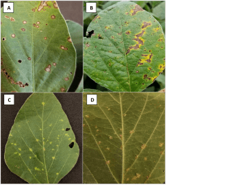 Figure 2. Foliar diseases in soybean A. frogeye leaf spot, B Septoria brown spot, C. downy mildew on upper leaf surface, D. downy mildew on lower leaf surface. Photo credit: Darcy Telenko