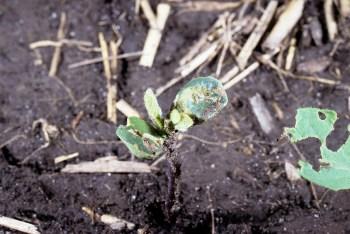 Emerged soybean seedling showing remains of seedcorn maggot damage that occurred below ground. (Photo Credit: John Obermeyer)