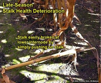 Late-season stalk health deterioration.