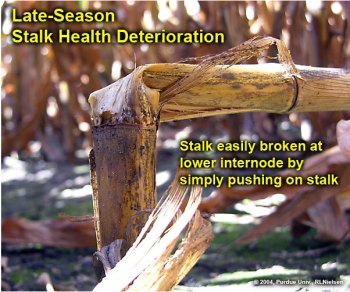Stalk easily broken at lower internode by simply pushing on stalk.