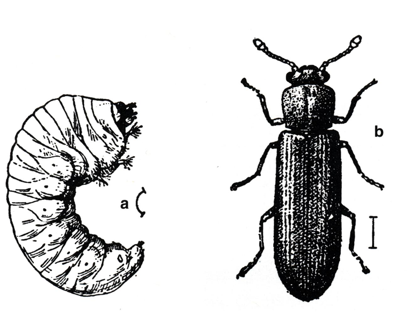 Female Seed Beetle