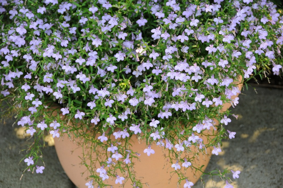 Annuals for Part to Full Shade   Beyond Impatiens and Petunias   U     Lobelia