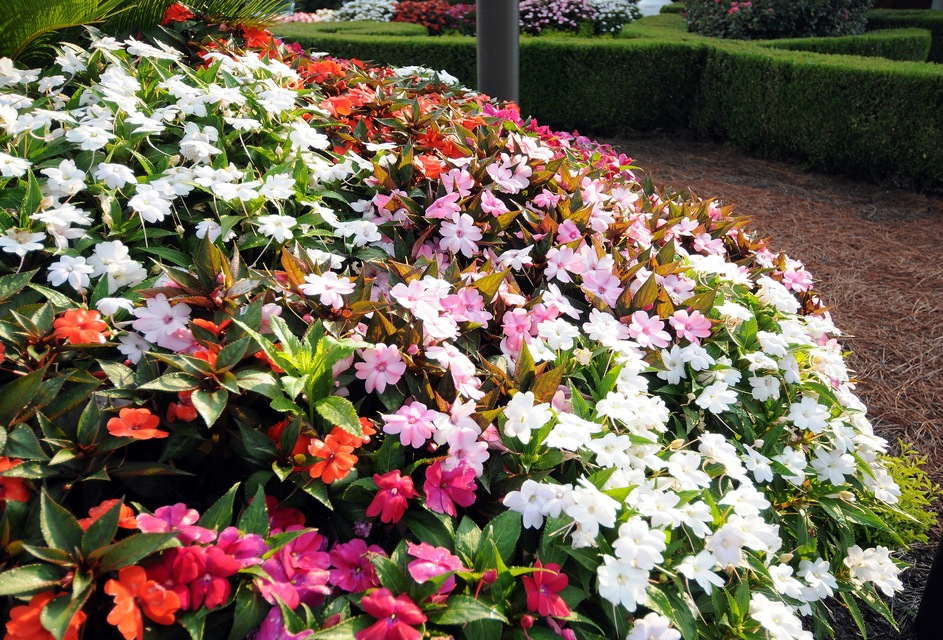 Annuals for Part to Full Shade   Beyond Impatiens and Petunias   U     New Guinea Impatiens