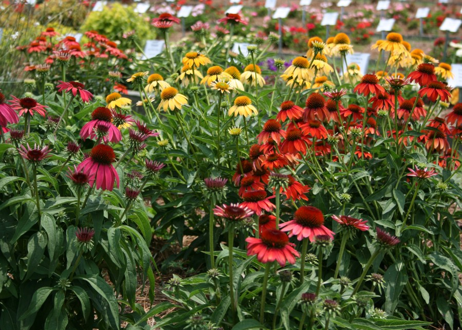 Image result for coneflowers breeds