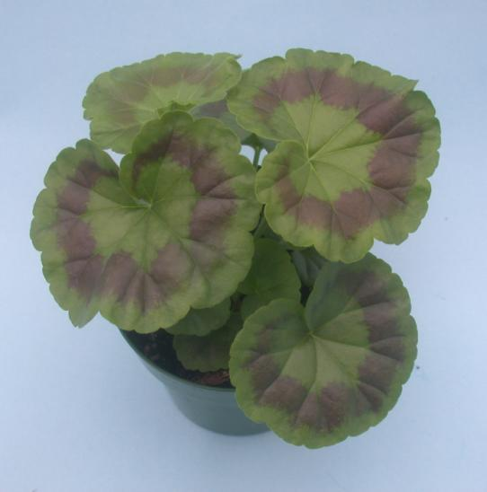 Zonal Geranium Umass Amherst Greenhouse Crops And
