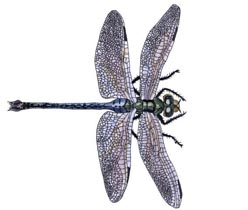Dragonflyadult - Los Invertebrados Definición y carateristicas