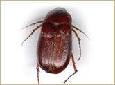 Le vers blanc (forme larvaire du hanneton), mesure 1 ½ po (38.1 mm) de long. En hiver, il est enfoui dans le sol et au début de l'été on le retrouve généralement à la surface où il envahit les pelouses. Il se nourrit d'herbe, de racines du gazon et de légumes. Au stade adulte (hanneton), on peut le caractériser par sa couleur brillante rousse foncée et son corps mesurant environ 1 po (25.4 mm) de long. La femelle pond ses œufs dans le sol en juin et les larves apparaissent deux semaines plus tard pour prendre des forces pendant les quelques mois de l'été durant la première année. Au début du deuxième été, il remonte plus près de la surface du sol pour commencer à se nourrir. Les dégâts causés à ce stade sont plus importants au niveau des cultures pour les 2 prochains étés. Son cycle de vie est d'environ 3 ans. À l'obscurité, on peut les voir apparaître autour des fenêtres, volant durement vers les sources de lumière, surtout durant les périodes chaudes de l'été.