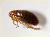 De couleur foncée, sans ailes, elle mesure environ 2 mm. Son corps dur et aplati saute jusqu'à 8 po (20 cm) en hauteur et peut sauter sur une longueur d'environ 12 po (30 cm). Elle s'attaque aux chiens, chats et même les humains. Elle pique pour prélever le sang pour se reproduire. Il suffit à la femelle d'un seul accouplement pour être fertile toute sa vie durant. Elle pond environ 20 œufs par jour. Ceux qui sont pondus sur l'animal peuvent facilement tomber par terre. L'éclosion des œufs s'effectue après 12 jours. Maintenant sous forme de larves, elles préfèrent les endroits sombres et humides tels que : la base des poils du tapis, près des plinthes, dans les crevasses des planchers et surtout aux endroits fréquentés par le chat. La puce adulte vit environ de 1 à 2 mois.