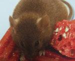 Souris De couleur gris foncé allant au brun sur le dos et plus pâle sur l'abdomen, elle mesure de 5 à 7.5 po (13 à 19 cm). Celle-ci, tout comme le mulot, vit dans les champs sauf qu'elle ne fait pas de trous. Elle s'approprie les terriers des autres rongeurs : rats et mulots. Elle cherche à pénétrer les structures des bâtiments par des ouvertures d'environ 1/4 de po (6.35 mm) où elle peut faire son nid dans les planchers, faux plafonds, sous les tablettes des bas d'armoires, dans les cartons, dans les contenants alimentaires et matériaux d'isolation. Elle peut voyager d'un étage à l'autre par la tuyauterie. Elle se nourrit de viandes, céréales, farines, riz, légumes, fruits, aliments sucrés et protéinés tels que les noix, le beurre d'arachide et la nourriture pour animaux. La souris peut avoir environ 12 portées de 5 petits au cours de sa vie. Les bébés atteignent la maturité en 35 jours et peuvent se reproduire dès l'âge de 3 mois. La souris vit en moyenne de 15 à 18 mois.