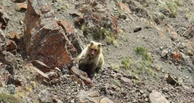 O urso de Sailugem tem pelagem amarelada