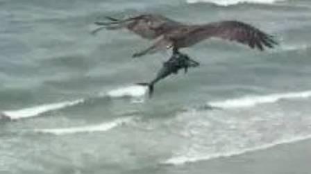 Pássaro carrega tubarão para o almoço